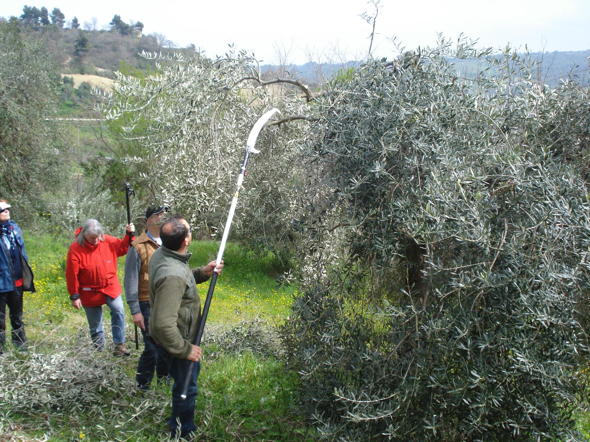 OlivenbaumschnittTiziano