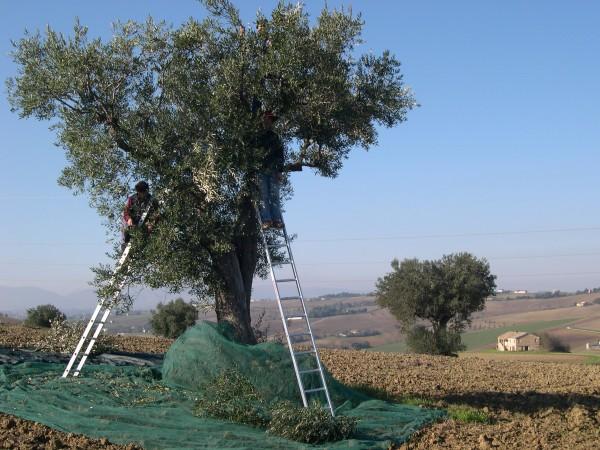 OlivenernteTizianoLeitern